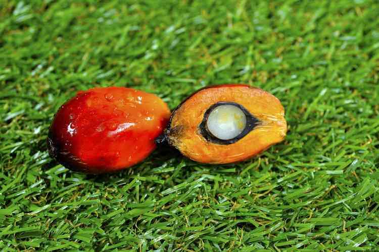close up of fresh palm oil fruits 3306098 1280